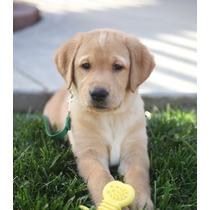 Casa Entrenada Cachorros Labrador Disponibles